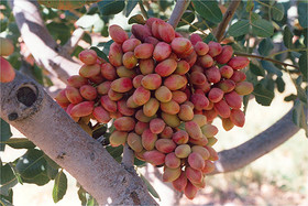 90% of pistachio gardens have been destroyed in Badrud