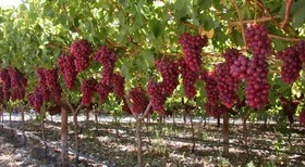 Grapes, Tourism, and Ecotourism Festival  to hold in Isfahan