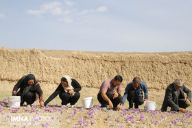 Saffron Harvest in Natanz