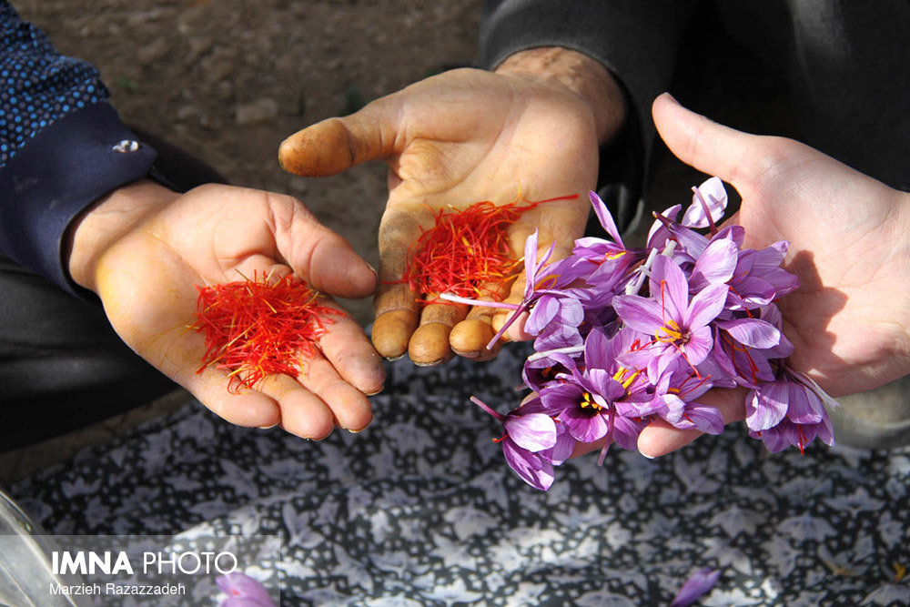 Saffron Harvest in Natanz, Isfahan Province