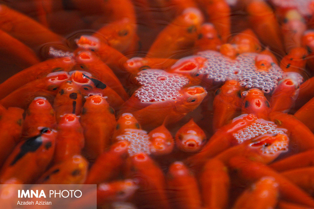240 million ornamental fish produced for Nowruz