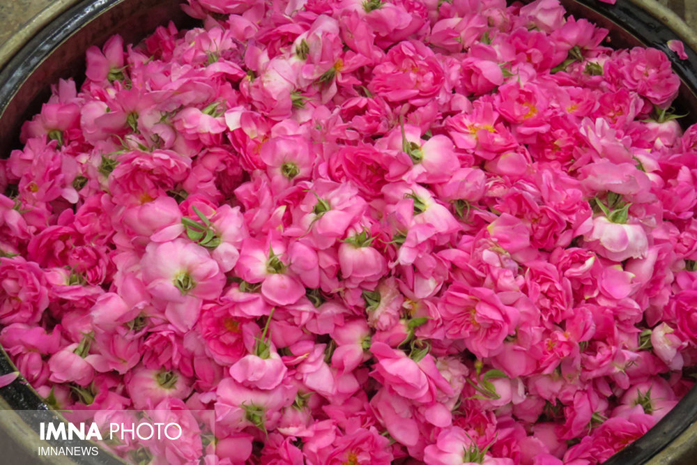 Mohammadi flower cultivation; drought remedy!