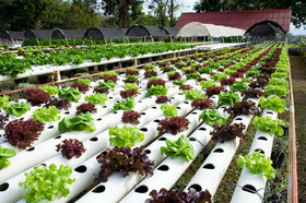 Hydroponics; only way to save agriculture during drought