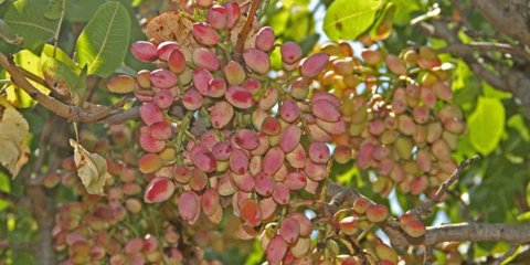 Rate of Pistachio harvesting in Badrud gardens decreased by 70 percent