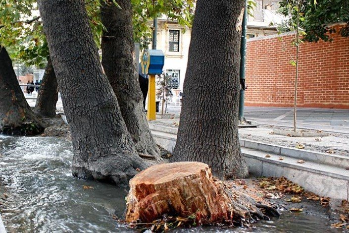 Hollow trees in Isfahan identified before cutting down
