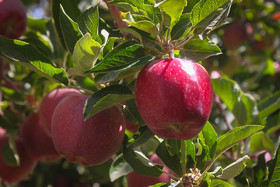 Isfahan's apples exports decreased about 6,000 tons