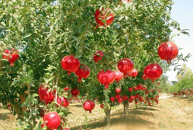 12th pomegranate festival to be held in Badrud