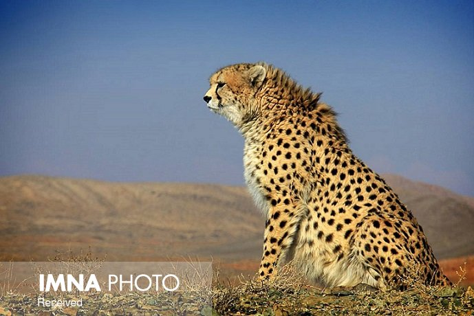 What are the potential strategies to mitigate cheetah mortalities on Iran's roads?