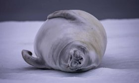 A Crabeater seal sleeps on snow-covered ice.
