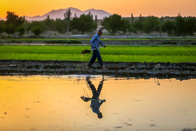 Beautiful scenery of paddy fields in planting season