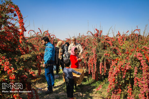 Barberry production in Isfahan