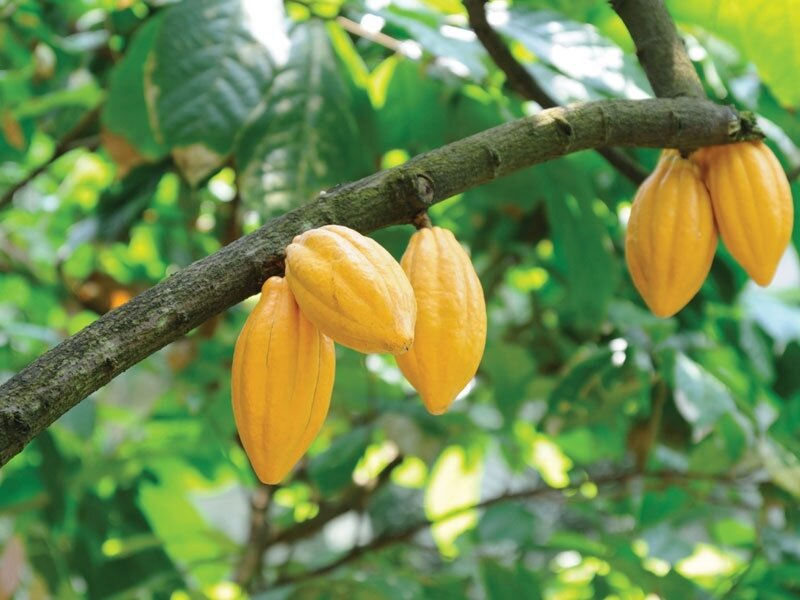 Iranian product to save Africa's cocoa farms